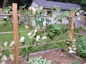Training Grape Vines Pergola by Finishing The Grape Arbor