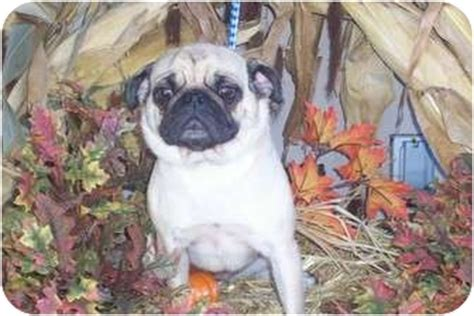 pugs in indiana cutest pug in the world putun adopted terre haute in pug