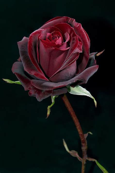 imagenes de rosas terciopelo pr 237 ncipe negro flores pinterest plantas y jard 237 n