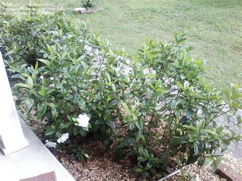 Gardenia Zone 7a Plantfiles Pictures Gardenia Cape Gandharaj