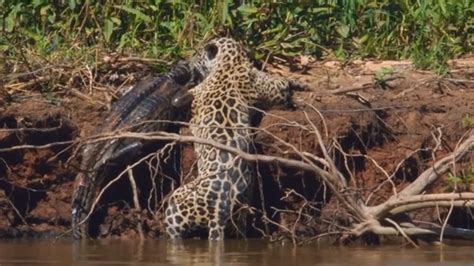 jaguar hunts crocodile jaguar attacks and kills crocodile