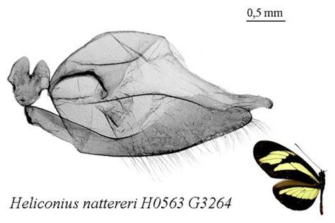 genitalias mâles groupe sylvaniformes