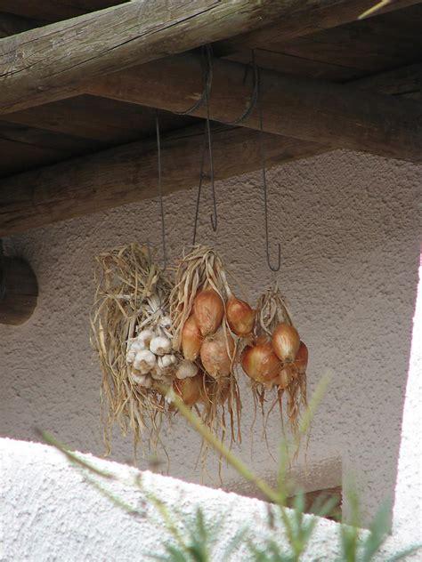 wann ist knoblauch erntereif knoblauch und zwiebeln allium sativum