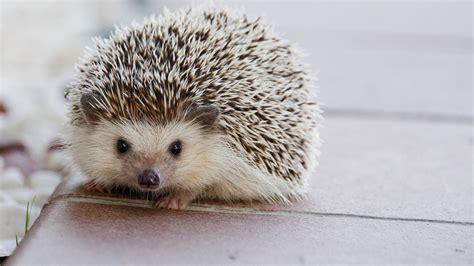 pygmy hedgehog pygmy hedgehog care sheet pets resources