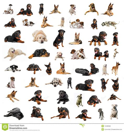 purebred dogs of purebred dogs royalty free stock image image 15468586