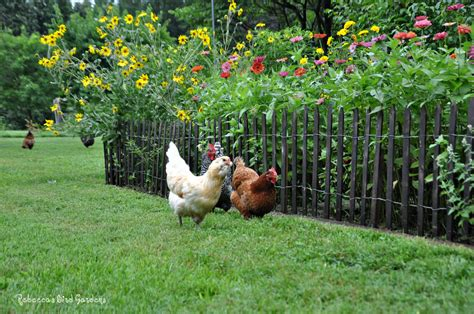 Chicken Garden by Gardening With Chickens And Picket Fences Community Chickens
