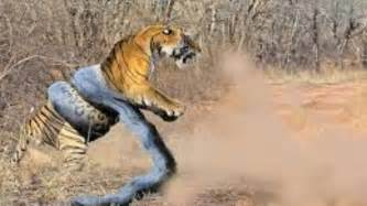 Tiger Vs Jaguar Fight Anaconda Vs King Cobra Fight Www Imgkid The Image