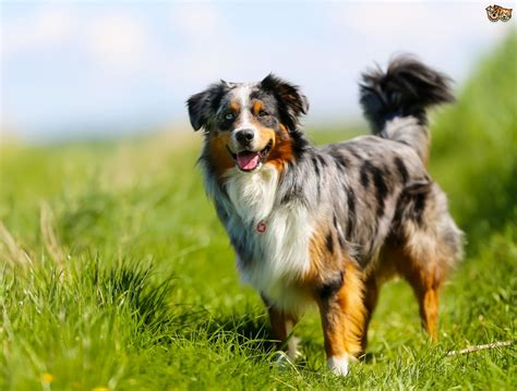 characteristics of dogs the personality traits of herding and shepherding dogs pets4homes