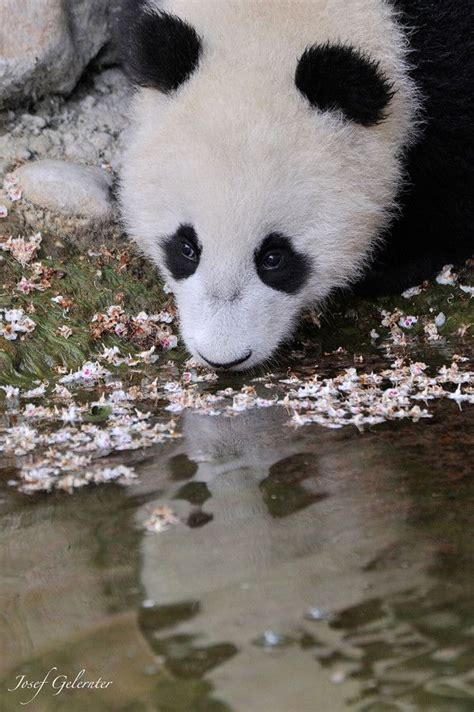 black mirror zoo 1580 best images about pandas on pinterest san diego zoo