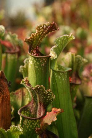 aquascapes unlimited aquascapes unlimited sarracenia x stevensii sarracenia x stevensii from