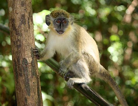 geoffroys spider monkey life expectancy