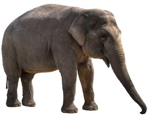 gambar harimau format png gambar gajah lengkap