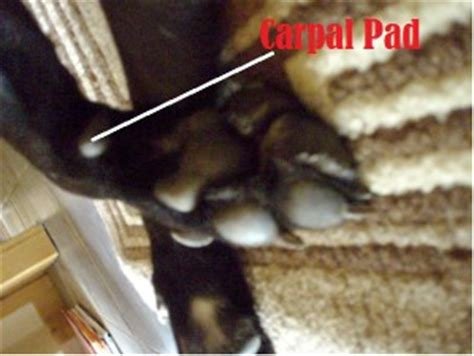 carpal pad ten fascinating facts about paws daily discoveries