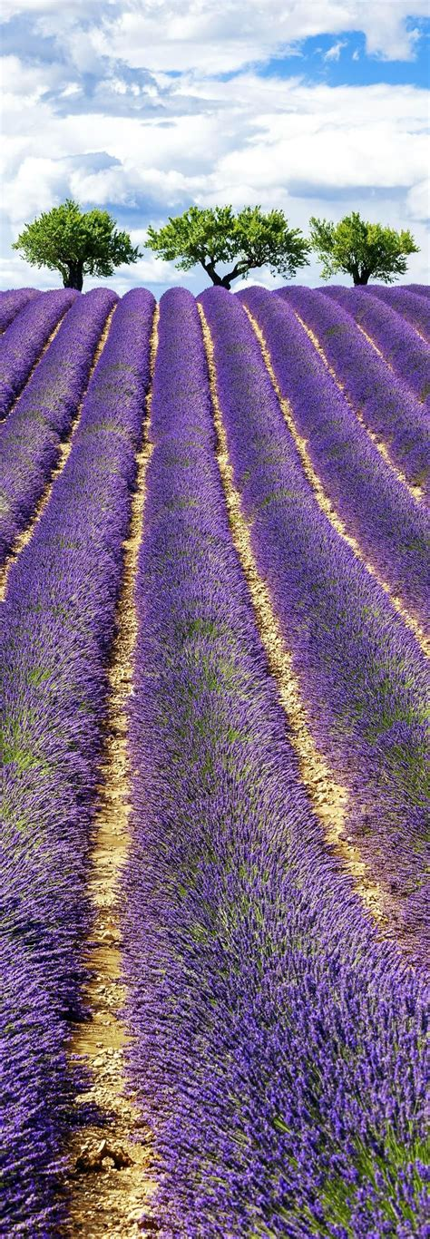 13 amazing photos of lavender fields that will rock your