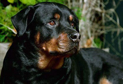 are rottweilers hypoallergenic the rottweiler the of the centurions