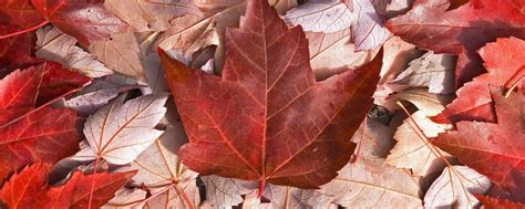 maple tree symbolism maple tree the symbol of canada express english
