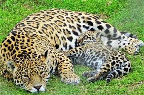 imagenes de jaguar hembra la chachipedia el jaguar panthera onca yaguar o yaguaret 233