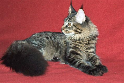 File:Maine Coon cat 6 months old   Wikimedia Commons