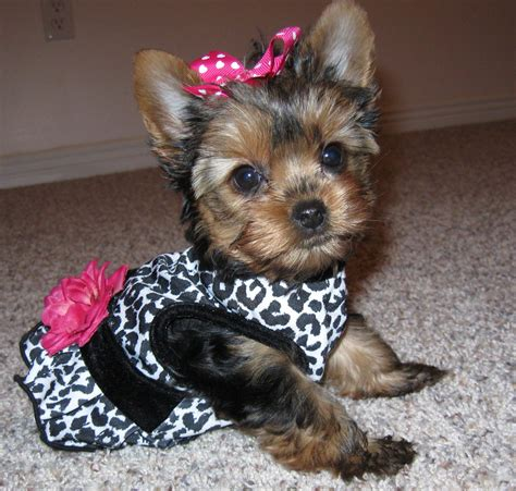 teacup yorkie clothing teacup yorkie clothes dress the clothes for your pets