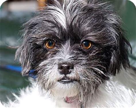 border terrier and shih tzu mix mimi adopted sudbury ma shih tzu border terrier mix