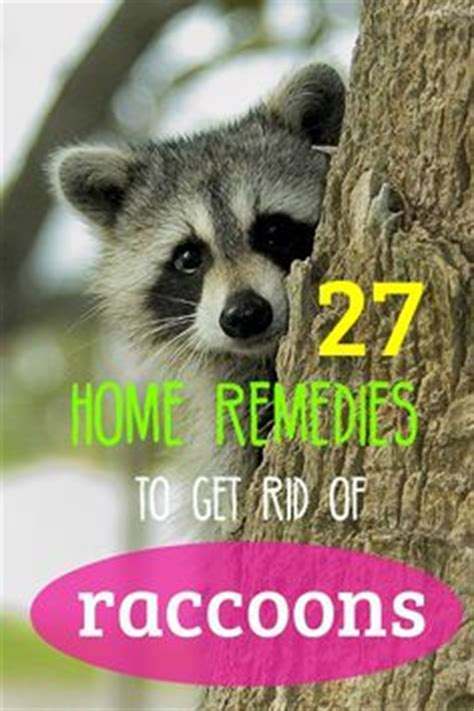 how to get rid of raccoons in my backyard raccoons and homemade on pinterest