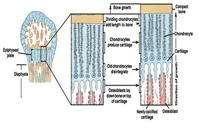 Fisiologi Manusia Sherwood Warna Egc mekanisme pertumbuhan tulang d a fakhrina