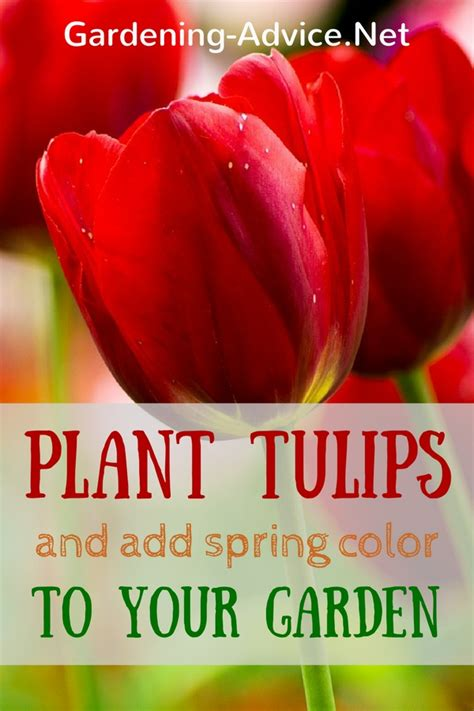 planting and growing tulips for beautiful spring color