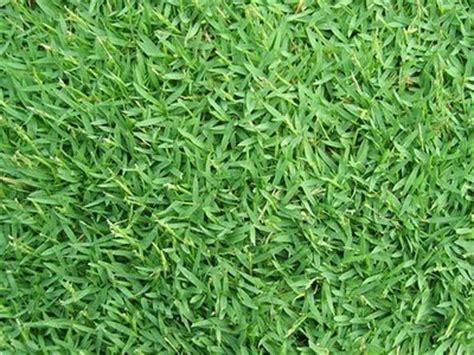 Bibit Rumput Golf jenis jenis rumput taman landscape jual rumput taman dan