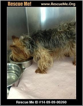 tennessee yorkie rescue the world s catalog of ideas