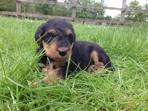 airedale puppies for sale airedale sale kennel club in uk breeds picture