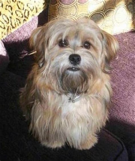 lhasa apso yorkie cross yorkie apso breed information and pictures