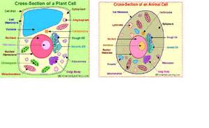 Animal cell model 7th grade images amp pictures becuo