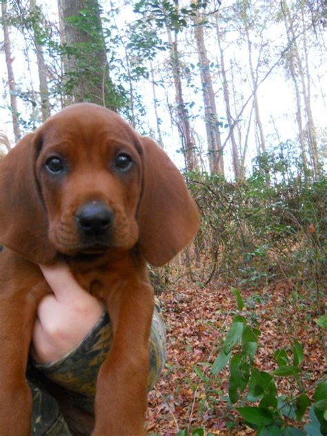 coonhound puppies redbone coonhound puppy