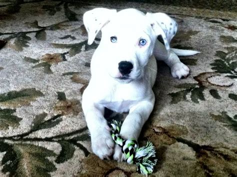 pitbull great dane mix puppies pitbull great dane mix puppy iwant