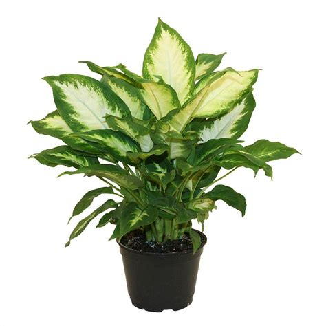 Living Lighting Home Decor by Delray Plants Dieffenbachia Camille In 6 In Grower Pot