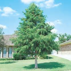 Wet Location Ceiling Fans Shop 19 5 Gallon Bald Cypress Tree L3245 At Lowes Com