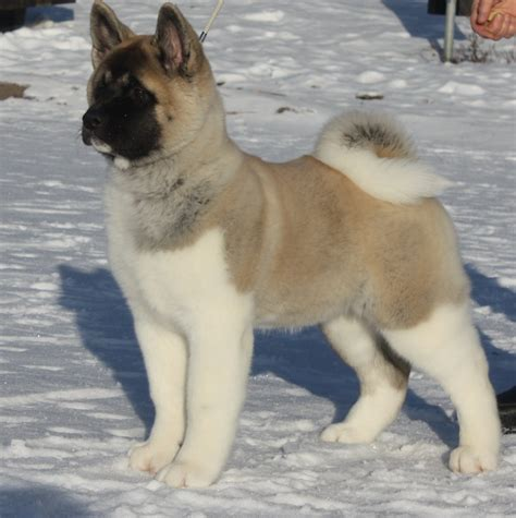 pictures of akita puppies the nicest american akita photo and wallpaper beautiful the nicest american akita
