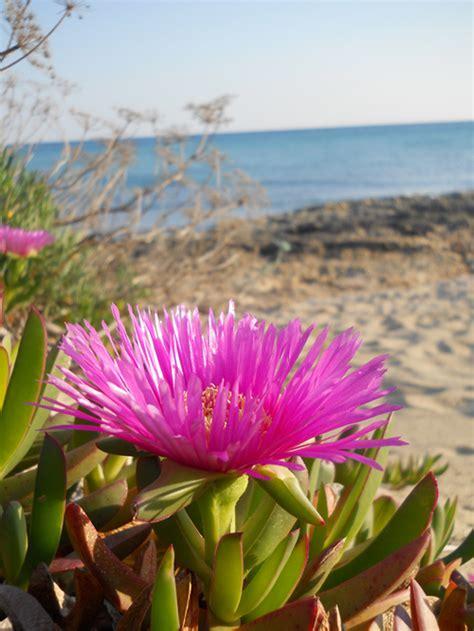 fiori bellissimi foto fiori bellissimi in riva al mare carpobrotus