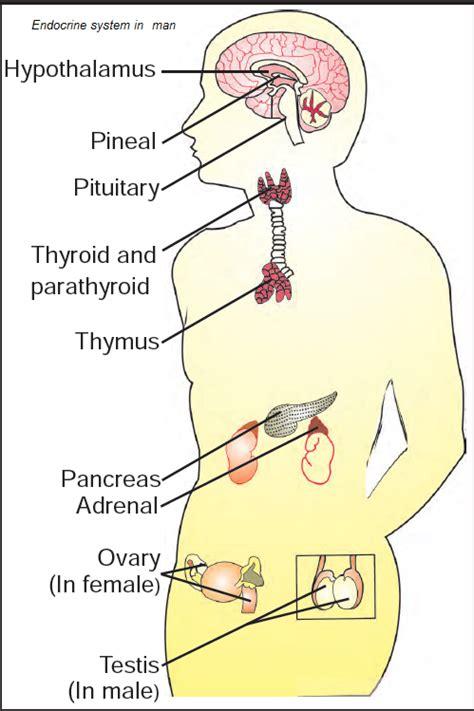 glands in the diagram diagram of the human endocrine system glands diagram get