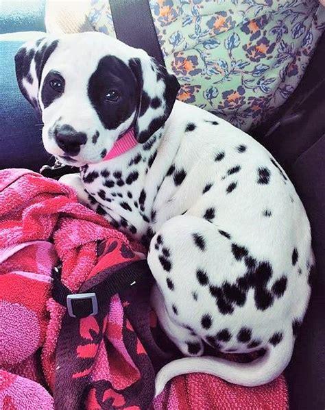 baby dalmatian puppies best 25 dalmatians ideas on dalmatian puppies baby dogs and
