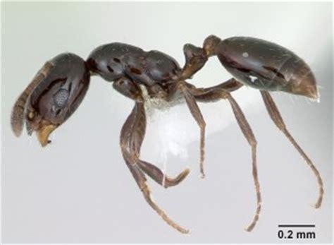 black ant monomorium minimum wild  ants
