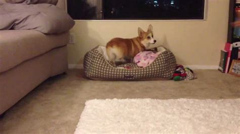 tricks in bed 8 months welsh corgi tricks mocha s sit down paw go to
