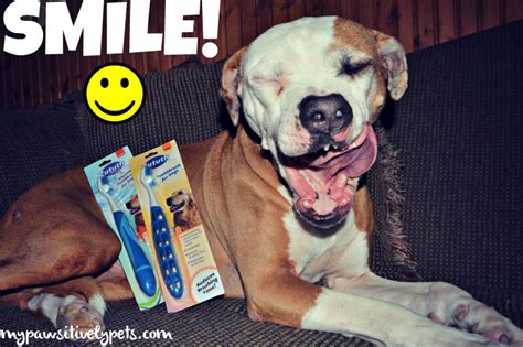 dogs with human teeth dogs with human teeth www pixshark images galleries with a bite