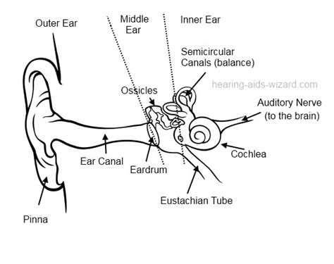 outer ear diagram labeled human ear diagram