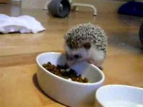 bath time for 9 week pygmy hedgehogs hedgehog babies doovi