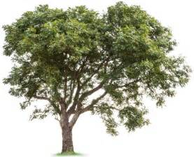 the history of the neem tree justneem