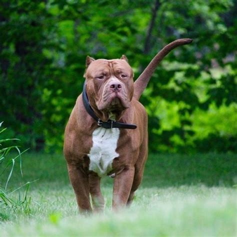 how much do pitbull puppies cost this is how much the world s largest pitbull s puppies will cost you