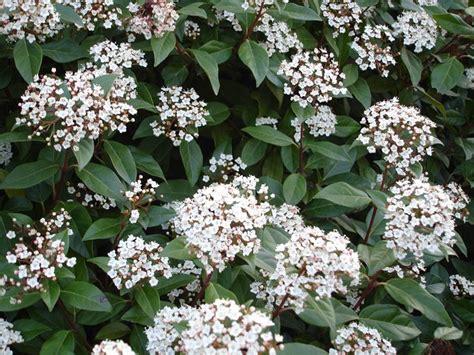 piante da vaso perenni piante sempreverdi da balcone piante da terrazzo come