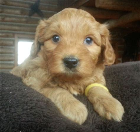 best puppy food for labradoodles adopting an australian labradoodle puppy breeder info wisconsin vaccinations