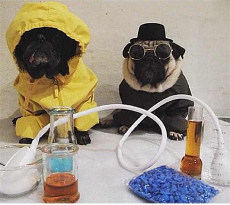bad pug breaking bad pugs my thugs are pugs